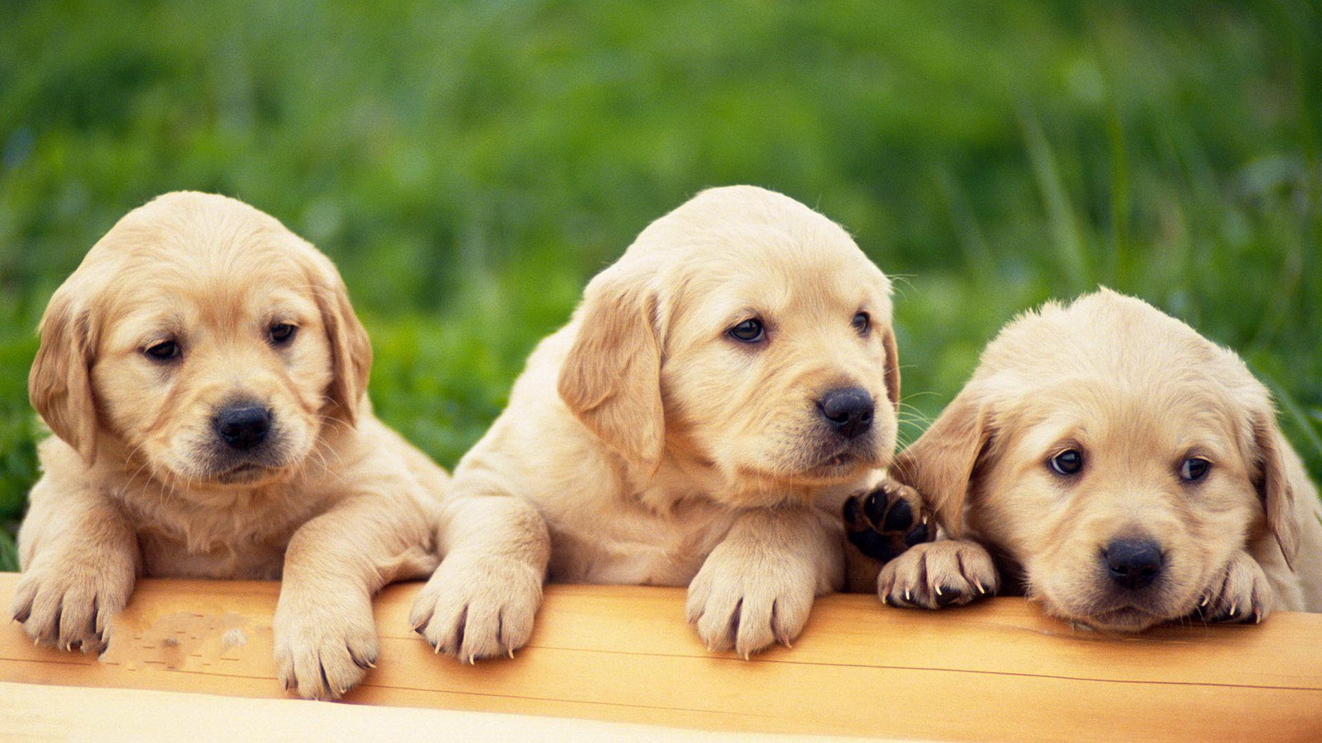 拉布拉多犬纯种狗狗可爱照