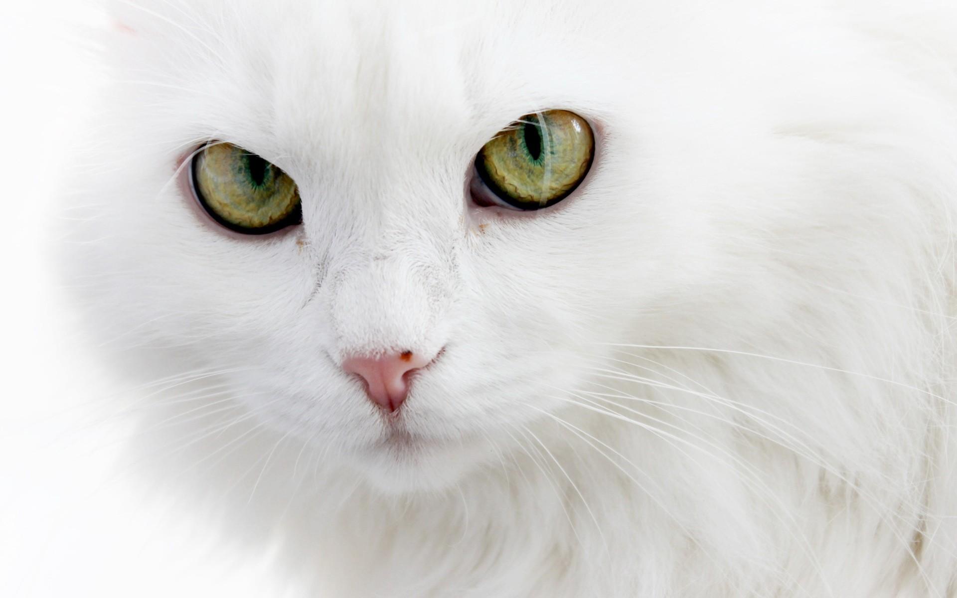 可爱的白色猫咪经典图片