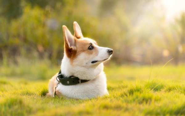 治愈系可爱的威尔士柯基犬