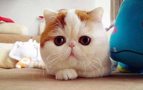 养加菲猫要注意什么