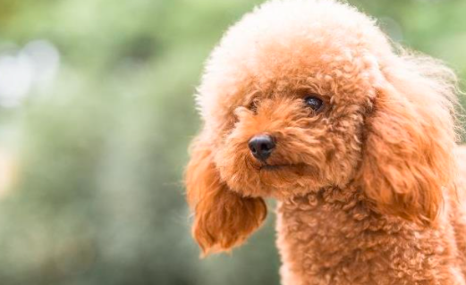 泰迪犬怎么长得越来越丑了?
