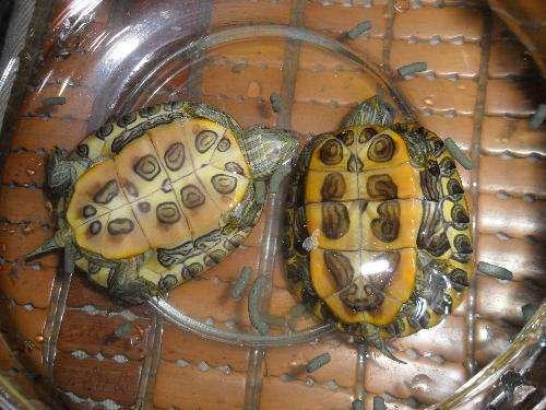 怎么辨别乌龟的公母?