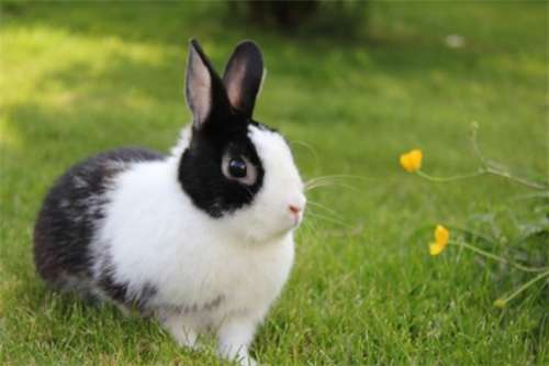 荷兰兔养护知识!