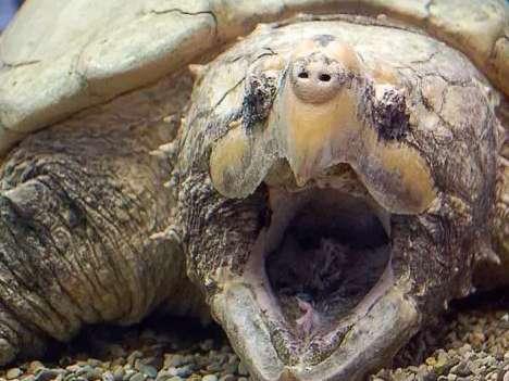 鳄龟在交配期间一定要知道的事情!