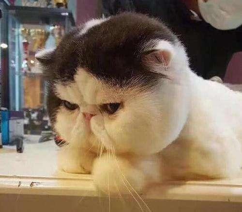 加菲猫吃什么东西可以发腮?