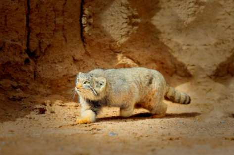 荒漠猫可以养吗?
