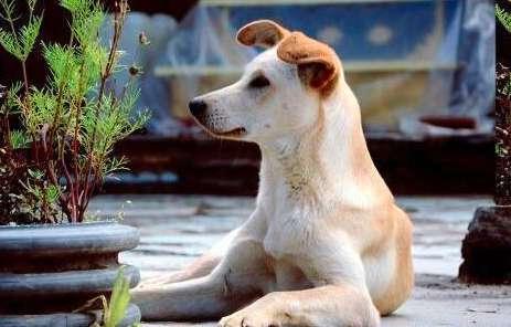 狗接种疫苗失败的三个原因
