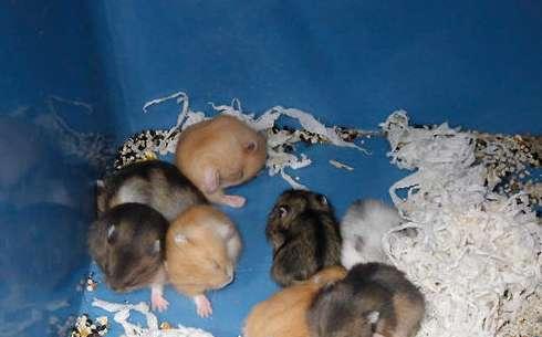 仓鼠繁殖误区