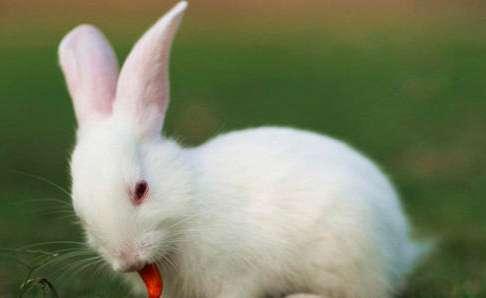 如何提高母兔的产崽量?