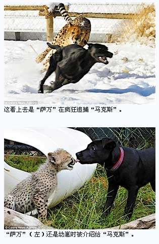 """猎豹不吃狗?美国""""辛辛那提动物园""""的一对神奇好友"""