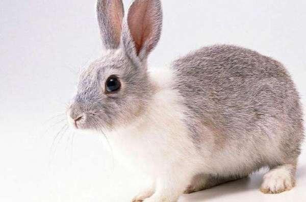 兔子中暑临死前征兆?