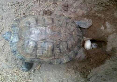 乌龟怎么养才能生蛋?