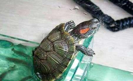 小乌龟睁不开眼睛该怎么办?