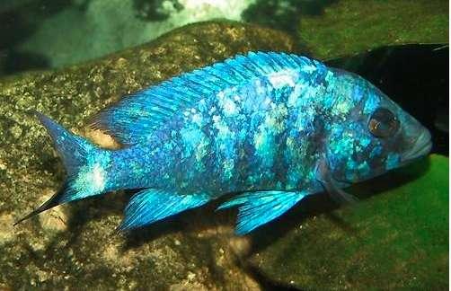 蓝宝石鱼喂养