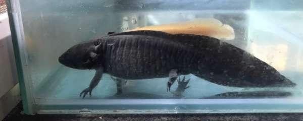 六角龙鱼怎么繁殖?