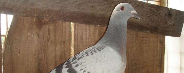 鸽子叼草做窝了要多久下蛋?