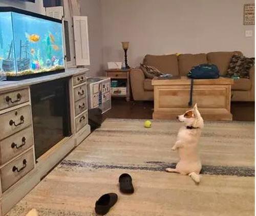 网友买了一个鱼缸回来,没想到狗子坐着守了一整天,笑死了!