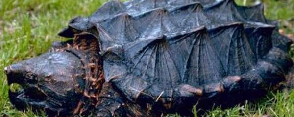 鳄鱼龟的养殖方法