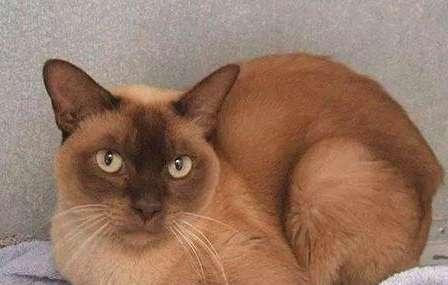 饲养缅甸猫要注意什么?