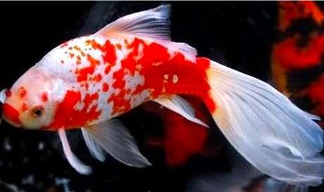 草金鱼能长多大?草金鱼怎么养?