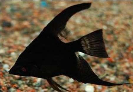 黑燕鱼怎么养?黑燕鱼养殖