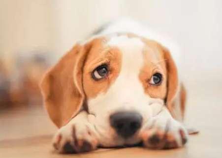 狗狗吐血能自愈吗?