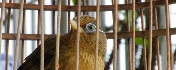 画眉鸟饲养方法?