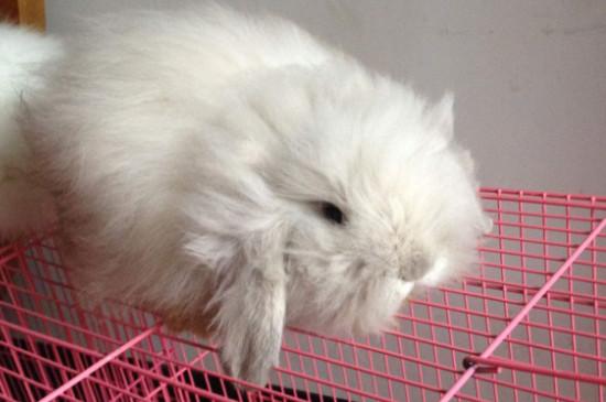 垂耳兔的饲养方法