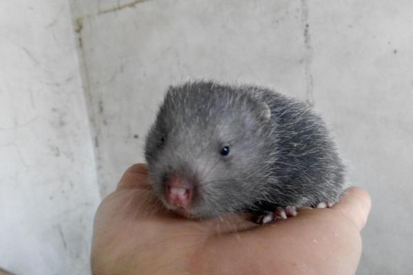 竹鼠是什么 竹鼠吃什么食物