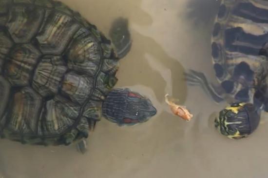 小乌龟不吃龟粮怎么办?