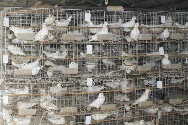 鸽子怎么养殖方法?要注意什么?