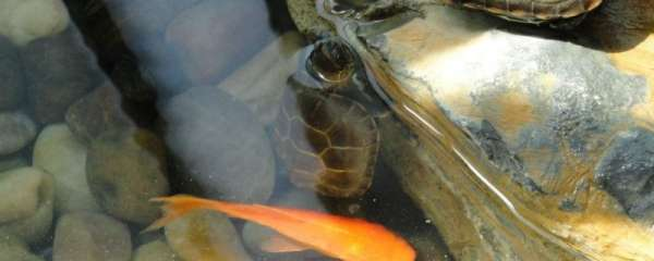 乌龟可以和鱼一起养吗?