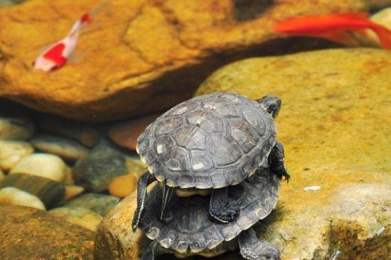 乌龟可以和鱼一起养吗