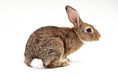 兔子的尾巴有多长,你知道吗?