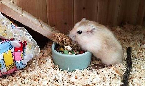 布丁仓鼠的饲养大全,你不知道的知识都在这里!
