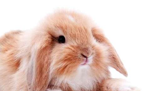 迷你垂耳兔日常要怎么喂养?