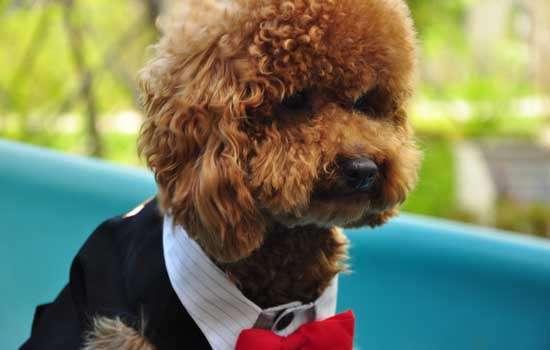 女生为什么不能养泰迪狗?
