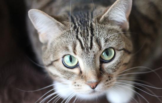 一岁的猫没打过疫苗怎么打