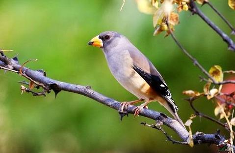 如何训练腊嘴鸟放飞?