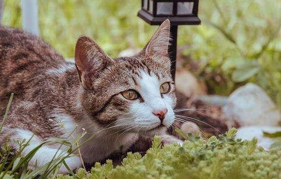 猫咪干呕吐不出来声音嘶哑怎么回事?