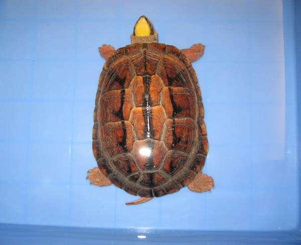 小金钱龟怎么养吃什么?