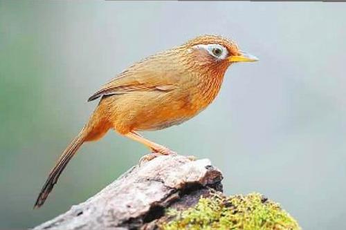 画眉鸟驯养四大指南