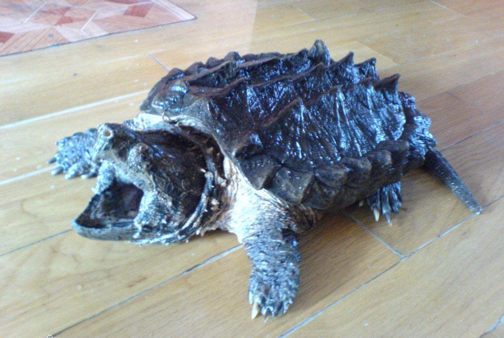 鳄龟尾巴尖断了多久可以恢复