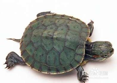 乌龟吃什么怎么养?