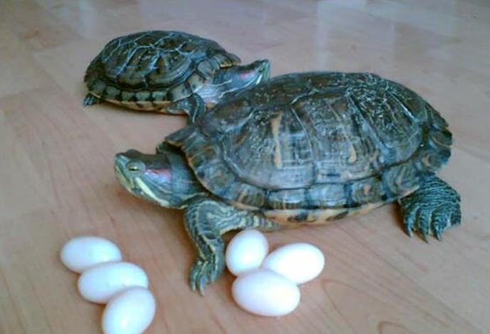 乌龟蛋怎么孵化?乌龟蛋孵化技巧!