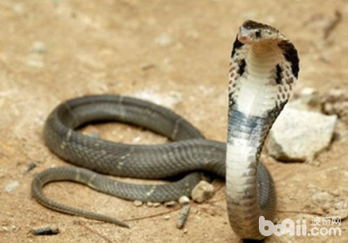 眼镜蛇有哪些不同的名称
