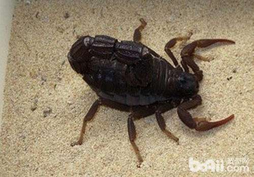 养黑粗尾蝎的注意事项