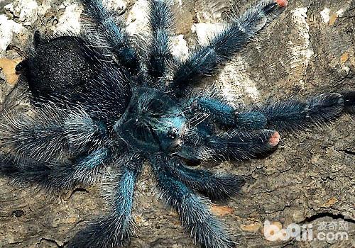 树栖型蜘蛛好不好养