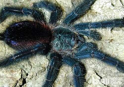 树栖型蜘蛛好不好养?