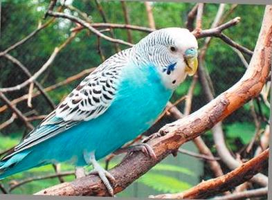 怎么教鹦鹉说话 鹦鹉学舌的办法